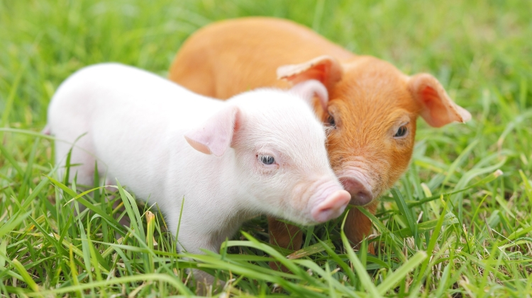 This image has an empty alt attribute; its file name is cute-piglets-azuni.jpg