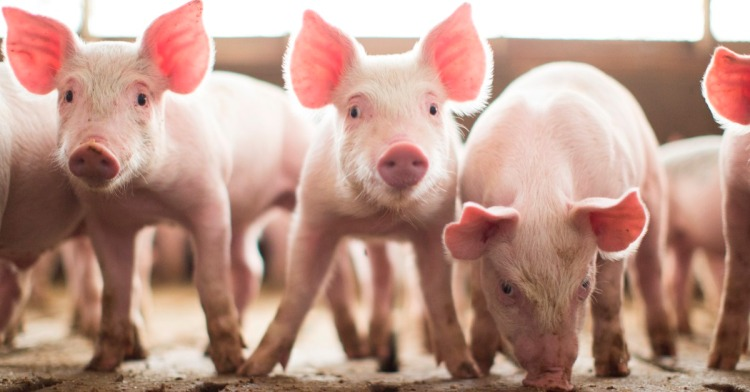 This image has an empty alt attribute; its file name is looking-piglets-azuni-blog.jpg