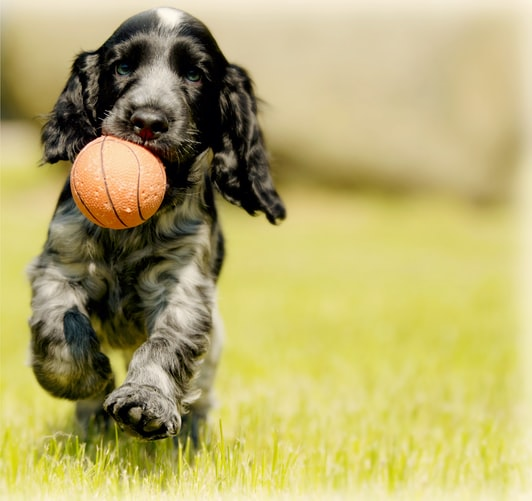 This image has an empty alt attribute; its file name is puppy-in-chasing-ball.jpg